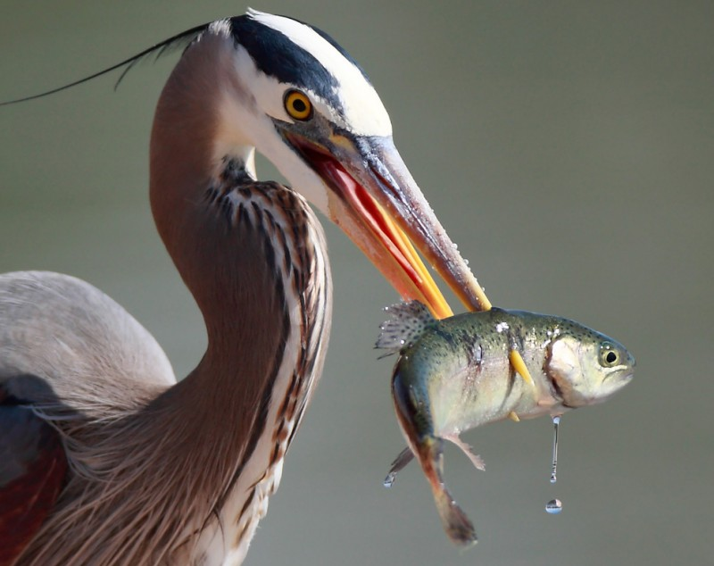 Blue Heron eating Fish by Linh Dinh