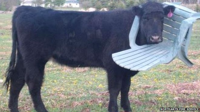 Cow gets head stuck in chair in Northamptonshire